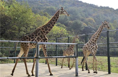 3米高长颈鹿标本警示:国庆出游切勿私自投喂动物