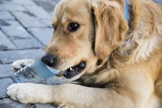 一次一个塑料瓶 这只金毛猎犬的坚持